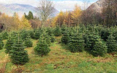 Salg av juletrær på Mostun natursenter