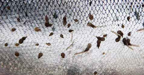 Lakselobbyen styrer oppdrettsnæringa