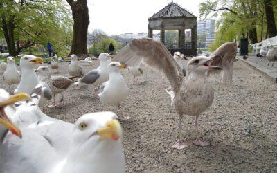 Det urbane fuglelivet