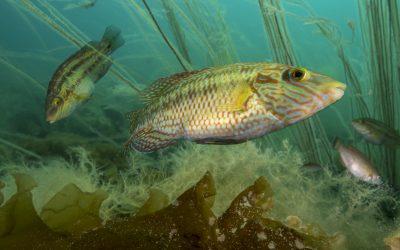 Lukkede anlegg sparer leppefisk